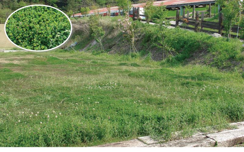 薬剤による芝生雑草管理