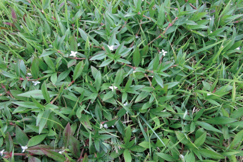 帰化植物 メリケンムグラ